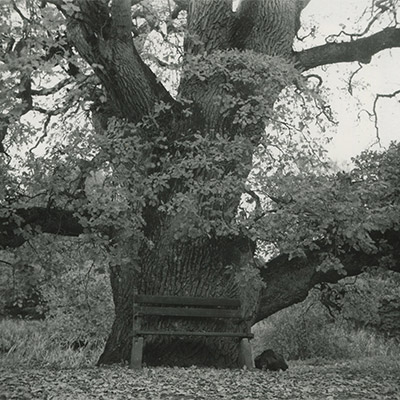 Ek i Vegeholms slottspark. Foto Henning och Gunnar Weimarck